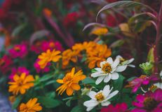 The Little flower color white, red, purple and orange in the flowers farm royalty free stock photos