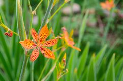 Little flower of leopard lily with in a green background and beautiful orange colors stock images