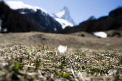 Little flower with matterhorn behind royalty free stock images
