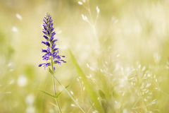 Little Flower On The Field Royalty Free Stock Images