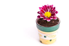 Little flower in a small pot across white Stock Photography