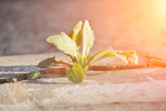 Little flower sprout grows. Through urban asphalt ground Royalty Free Stock Photography