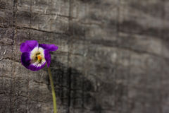 little flower violet on old gray wood Royalty Free Stock Photo