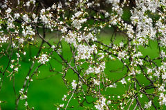 Little Flowers. Flowers on the branches on a background of green grass Royalty Free Stock Photo