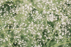 Flowering Gypsophila paniculata Stock Images