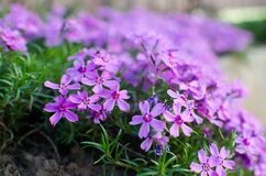 Little flowers blooming phlox pink with royalty free stock photography