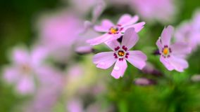 Little flowers blooming phlox pink with stock video
