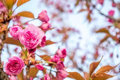 Flowers of pink sakura with yellow leaves at sunset royalty free stock photo