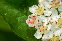 The little flowers of chokeberry Royalty Free Stock Photography