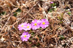 Little flowers in Himalayas. About 3900 meters above sea level, Now here it is spring, the flowers just beginning to bloom, the sun is very strong here, shining royalty free stock image