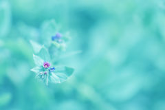Little flowers lungwort on the gentle turquoise background on the open space. Macro flowers. Royalty Free Stock Images