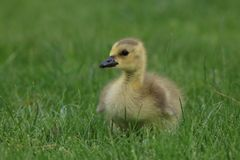 Little Fluffy Canada Goose Gosling Resting in the Grass Stock Image