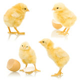 Little fluffy chickens Royalty Free Stock Photography