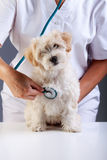 Little fluffy dog at the veterinary checkup Royalty Free Stock Image
