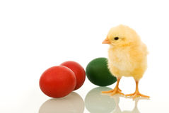 Little fluffy Easter chicken with dyed eggs Stock Photography