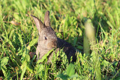 Little fluffy gray bunny hiding in green grass Stock Images