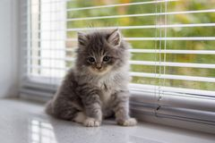 Little fluffy Grey Persian Maine coon kitten lies near the door and looking at camera . Newborn kitten, Kid animals and cats conce. Pt royalty free stock photo