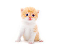 Little fluffy kitten Stock Images