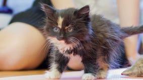 Little fluffy kitten. stock video