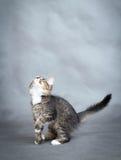Little fluffy kitten Stock Photos
