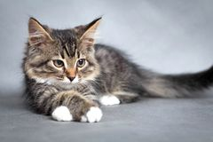 Little fluffy kitten Stock Photo