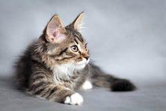 Little fluffy kitten Royalty Free Stock Image