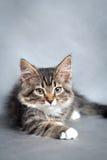 Little fluffy kitten Stock Photography