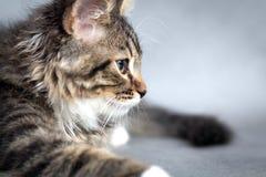 Little fluffy kitten Stock Image