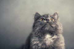 Little fluffy kitten on a gray background Royalty Free Stock Photos
