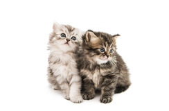 Little fluffy kitten isolated Royalty Free Stock Photography