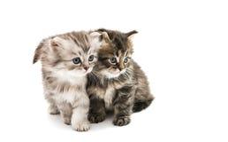 Little fluffy kitten isolated Stock Photos