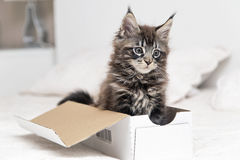 Little fluffy kitten maine coon plays Royalty Free Stock Image