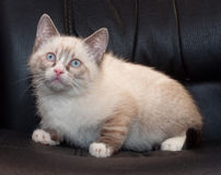 Little fluffy kitten seal point sits on chair Stock Photography