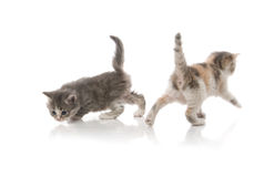 Little fluffy kittens playing Royalty Free Stock Image