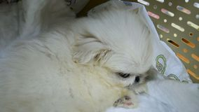 Little fluffy Pekinges puppy sits in a pet carrier.