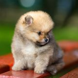 Little fluffy Pomeranian puppy Stock Photo
