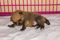 Little fluffy Pomeranian puppy , be sleepy Royalty Free Stock Photos
