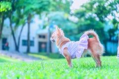 Little fluffy Pomeranian puppy Stock Photo
