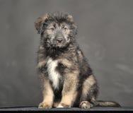 Little fluffy puppy Caucasian Shepherd crossbreed Royalty Free Stock Photos