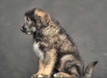 Little fluffy puppy Caucasian Shepherd crossbreed Royalty Free Stock Photo