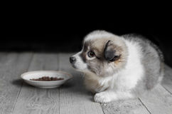 Little fluffy puppy lies next to the plate of food. Stock Image