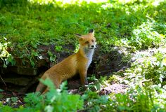 A little fluffy red fox. A little fluffy red fox came out of hiding stock image