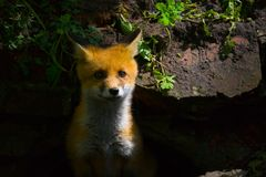 A little fluffy red fox. A little fluffy red fox came out of hiding stock photo
