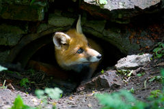 A little fluffy red fox. A small, fluffy, redhead fox looks out of hiding royalty free stock photos