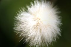 Little fluffy seeds Stock Image
