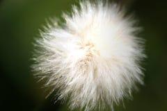 Little fluffy seeds. In morning light stock image