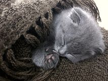 Little fluffy silver blue british shorthair kitten Royalty Free Stock Images
