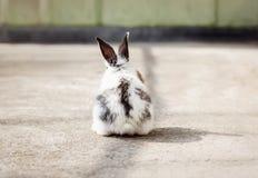 Little fluffy white bunny Stock Image