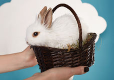 Little fluffy white Easter bunny in basket Royalty Free Stock Photo