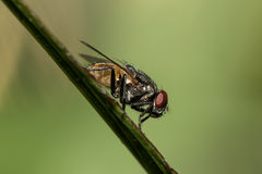 The little fly. Royalty Free Stock Photos
